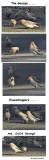 Bohemian Waxwings-an amusing sequence