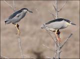 Herons,Egrets,Cormorants, Shore Birds