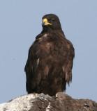 Hawks, Eagles, Falcons