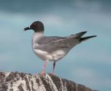 Gulls, Terns, Alcids, Sandpipers
