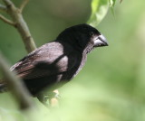 large_ground-finch_