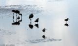 Shorebird Silhouette