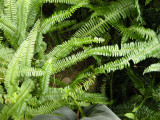 Stone Forest ferns ( 2009)