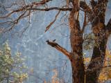 Acorn woodpecker on the veranda