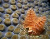 Sam's Big Toe:  Star coral and Christmas tree worm