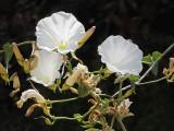 Convolvulaceae: Morning-Glory Family