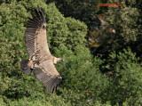 avvoltoi e nibbi