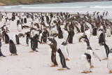 Gentoo and Magellanic penguins in the same place (the Magellanics look like they have a C on their head)