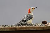 Red-bellied Woodpecker, Female