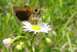 Skipper on the Daisy