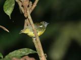 Yellow-breasted Flowerpecker