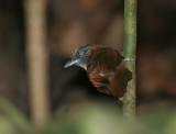 Grey-headed Babbler