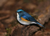Himalayan Bluetail (Chestnut-flanked Bush Robin)