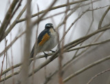 Orange-flanked Bush Robin