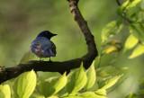Blue&White Flycatcher