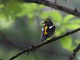 Narcissus Flycatcher