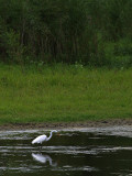 Egret with Woods.jpg