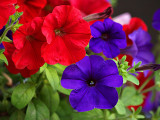 Petunias Red and Purple.jpg