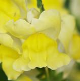 Yellow Dragons.jpg