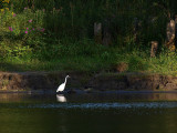 Egret in the Shade.jpg