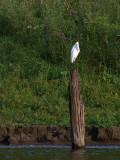 Egret on the Piling.jpg