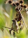 Little Sparrow in the Weeds.jpg