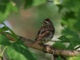 Sparrow in the Tree 2.jpg