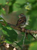 Sparrow in the Tree.jpg