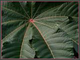 Humongous Leaf.jpg