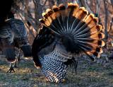 Turkey-Warrior of Love.jpg