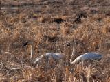 Trumperter Swans .jpg