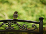 Little Sparrow on the Patio