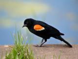 Male Red-Winged Blackbird Walkin Along one of the Little Ponds