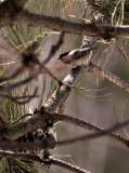 Chickadee in the Pine rp.jpg