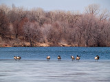 Geese all in a Row rp.jpg