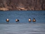Geese all in a Row_1 rp.jpg
