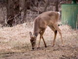 Little Buck, Already had Bumps for Antlers