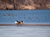 Napping Pair of Geese rp.jpg