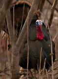 Wild Tom Turkey Full Body