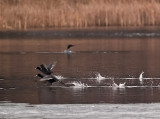 Coots on the Runway