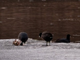 Cannibal Coots