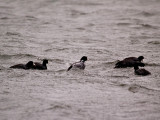 Coots Riding the Storm Out