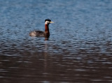 Red-Necked Grebe..