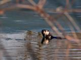 River Otter rp.jpg