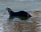 River Otter with a Fish rp.jpg