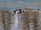 River Otter_2 rp.jpg