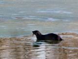 River Otter_3 rp.jpg