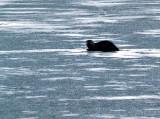 River Otter on Ice Cute.jpg