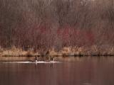 Geese Lake Redbushes rp.jpg
