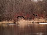 Goose Pair in Flight Over Lake rp.jpg